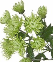 Mums, Spray-Spider-green