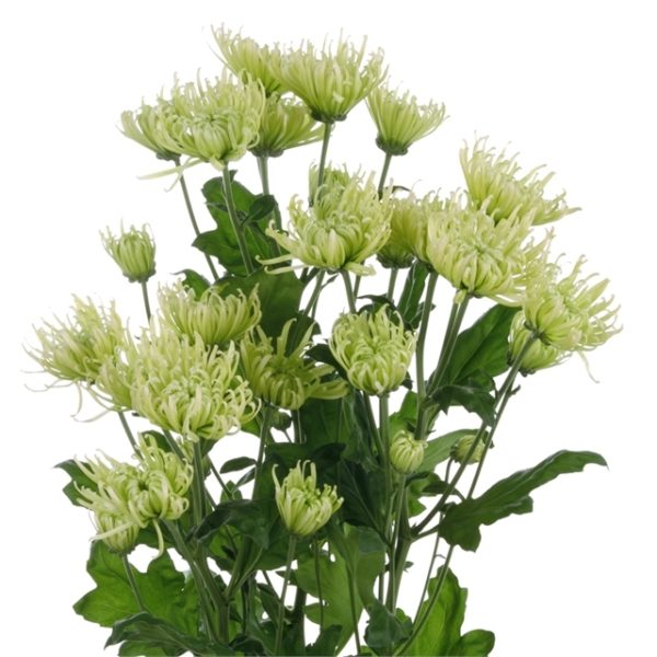Buy the freshest green spider mums available for weddings