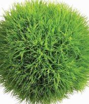 Green-trick-dianthus
