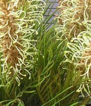 Grevillea, Spiderman-yellow
