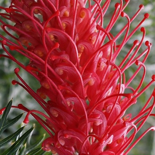 wholesale flowers | grevillea red