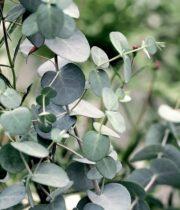 Eucalyptus, Gunei