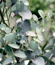 Eucalyptus, Gunni