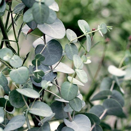 gunni eucalyptus wholesale