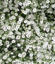 Gypsophila, Million Star-white (Baby's Breath)