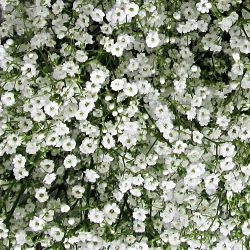 wholesale flowers | gypsophila million