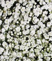 Gypsophila, Overtime-white (Baby's Breath)