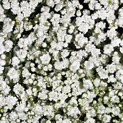 wholesale flowers | gypsophila mirabella