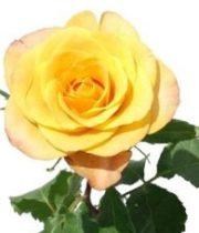 Rose, Gypsy Curiosa-SA