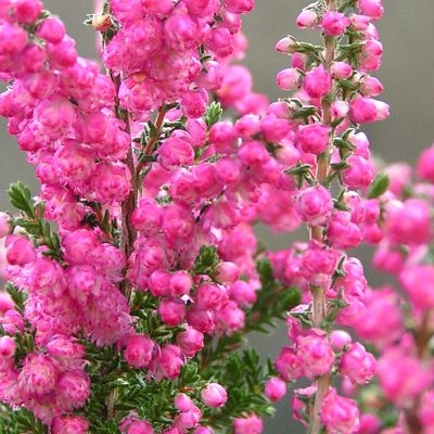 wholesale flowers | heather hot pink