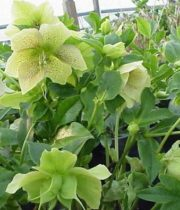 Helleborus-antique