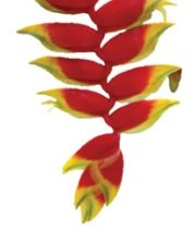 Heliconia, Hanging-Deluxe-red