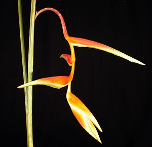 heliconia-orange