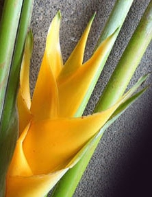 wholesale heliconia- deluxe yellow