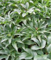 Helleborus Foliage