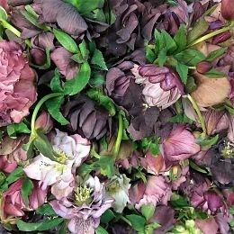 helleborus purple