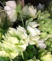 Helleborus-white
