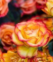 Rose, High&Intense-SA