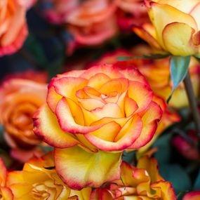 wholesale flowers   rose high intense