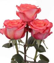 Rose, High&Orange-SA