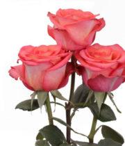 High & Orange Roses, SA