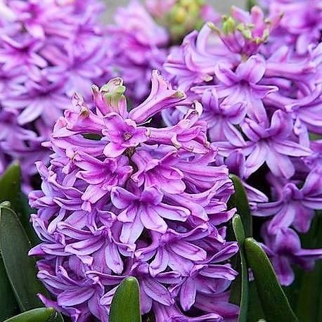 wholesale hyacinth-lavender