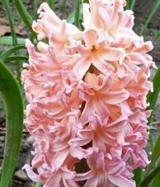 Hyacinth-peach