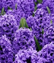 Hyacinth-purple