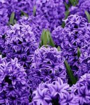 Hyacinth-purple