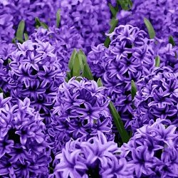 wholesale hyacinth-purple