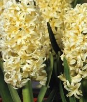 Hyacinth-yellow