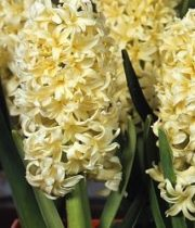Hyacinth-yellow