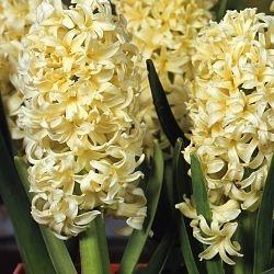 wholesale hyacinth-yellow