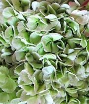 Hydrangea, Antique-green
