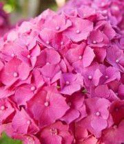 Hydrangea, CA-hot Pink