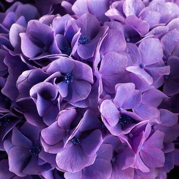 wholesale hydrangea-purple