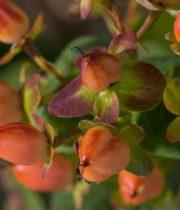 Hypericum-orange