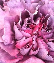 Carnations, Specialty-Hypnosis-mauve Pink