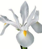 Iris-white
