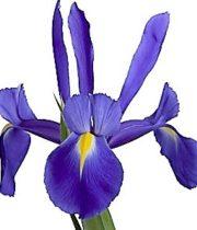 Iris-dark Blue