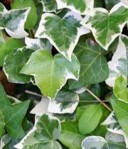 Ivy, Wedding-variegated