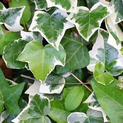 ivy-variegated