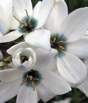 Ixia-white