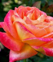 Rose, Konfetti-SA