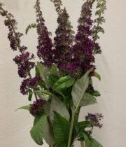 Buddleia-lavender