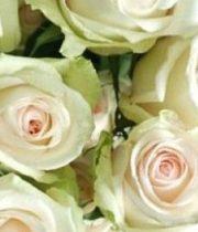 Blush La Perla 50cm Roses, SA