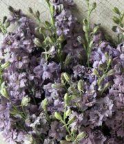Larkspur-lavender