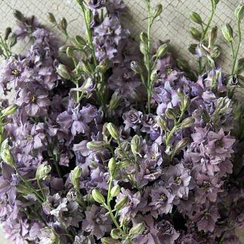 wholesale flowers | larkspur- lavender