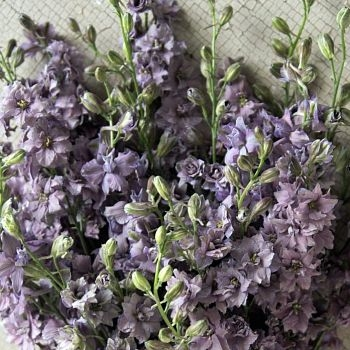wholesale flowers   larkspur- lavender