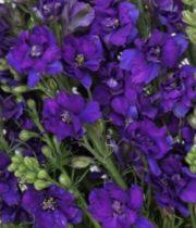 Wholesale Flowers   Larkspur- Purple